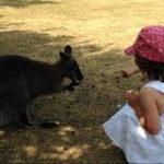 Kangourous à la Possonnière